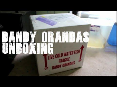 Dandy Orandas Goldfish Unboxing