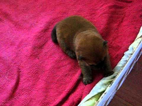 Chow Chow Puppies In 6 7 Days Trying To Walk Youtube