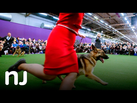 Scenes from Westminster dog show 2017
