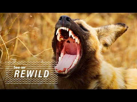Painted Wolves: Why Is Fear So Important to an Ecosystem