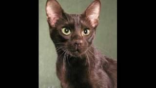 Havana Brown Cat Thumbnail