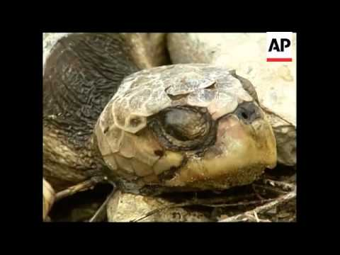 Latest on efforts to stop oil spewing into sea; dead turtles
