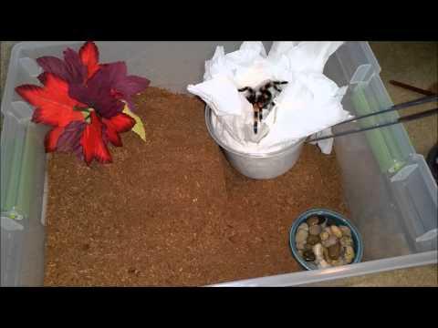 Brachypelma smithi unboxing: 3.5-4 inch female
