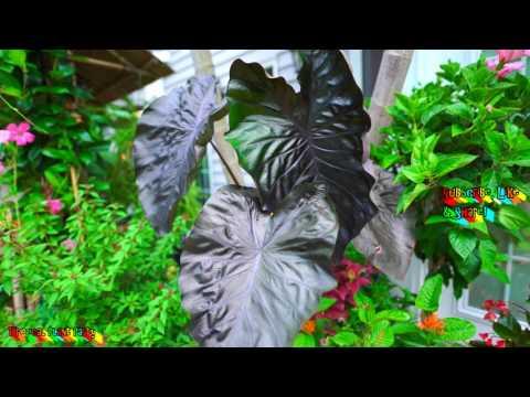 SPOTLIGHT-Black Coral Colocasia! // Fav Elephant Ear // Tropical Plant Party
