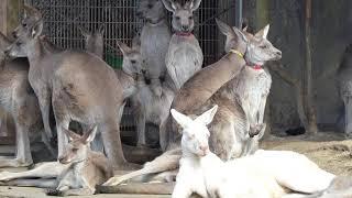 金沢動物園のオオカンガルーのルビーくん。 たくさんいるカンガルーの中...