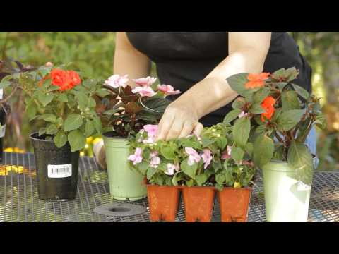 How to Remove the Impatiens Buds : Garden Space
