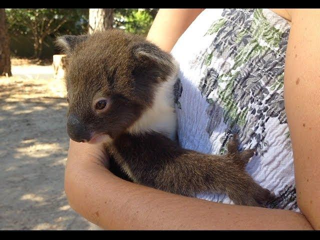Heart Warming Moment Mama & Baby Koala Reunite