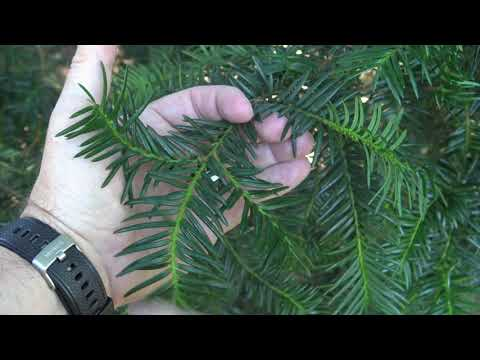 Identifying yew
