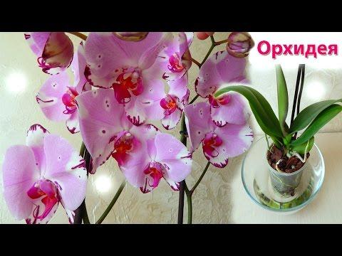 Орхидея уход как поливать орхидею - Комнатная орхидея - Домашние растения