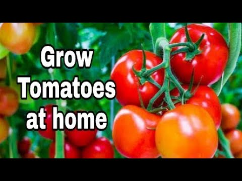 How To Grow Tomatoes At Home Grow Tomatoes At Home From
