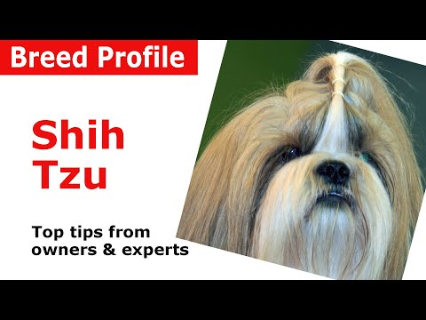 Shih Tzu Dog Breed Guide