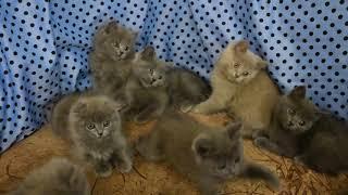Шотландские котята, 2 месяца