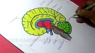 How to Draw Human Brain Anatomy Drawing for Kids