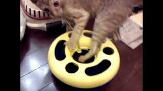 やっぱり猫は飽きるのが早い... 虎太郎 子猫 生後4ヶ月4日