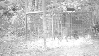 アニマルセンサーSelectでイノシシを捕獲した映像です。アニマルセンサ...