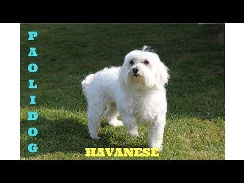 HAVANESE   (Top 10 interesting facts)