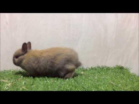 กระต่ายแคระ (Netherland Dwarf-ND) KM001-2 Allawa Rabbit Farm