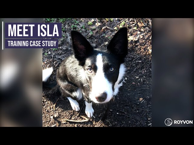 Obedience training for an energetic Border Collie puppy