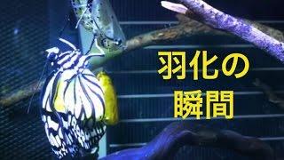 ようやく撮影に成功しました! 黄金のサナギから羽化した ゴマダラチョウ.