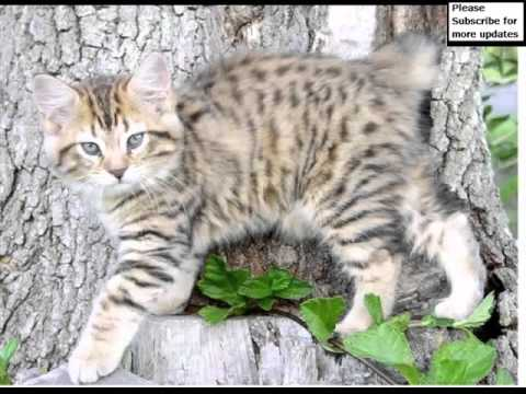 American Bobtail Black | Cat Picture Collection