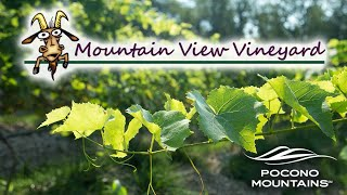 Harvest Day at Mountain View Vineyard | Pocono Beverage Trail