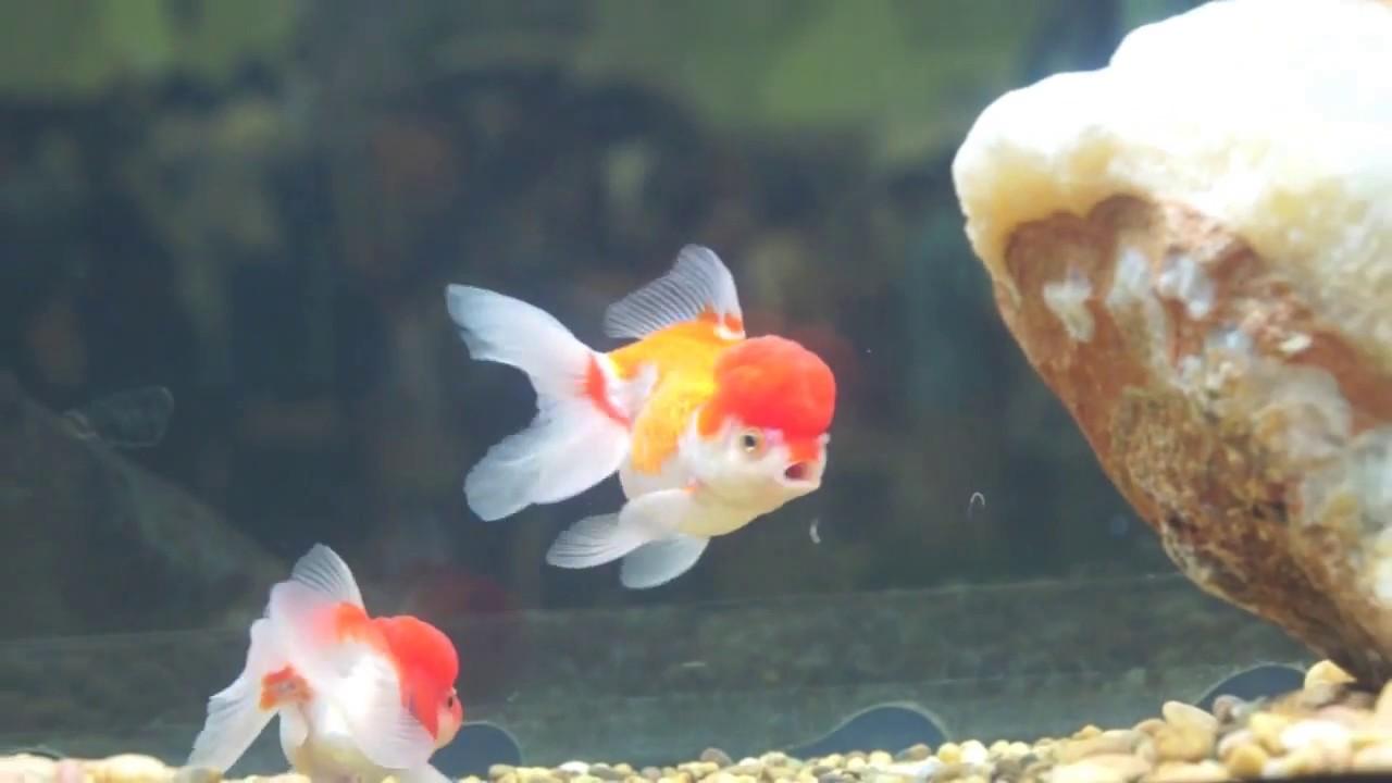 Red Cap Oranda Goldfish with white and orange body - YouTube Red Cap Oranda Goldfish