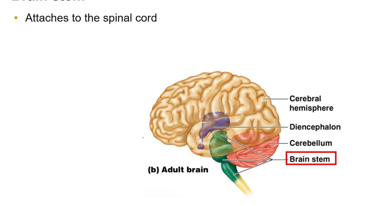 Diencephalon, Brain Stem, and Cerebellum - YouTube