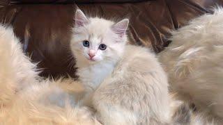 Sarafina 💞 our Princess 💞 blue lynx bicolor Ragdoll kitten 💞 sooo pretty 💞 7 weeks 💞