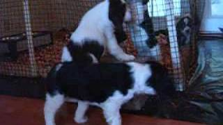 Jacob At 7 Weeks English Springer Spaniel Puppy