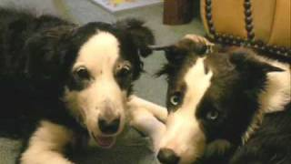 My 2 Border Collies Being Silly