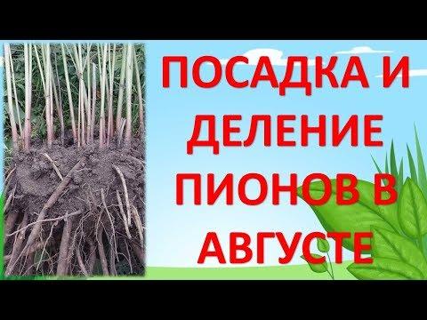 ПОСАДКА И РАЗМНОЖЕНИЕ ПИОНОВ В АВГУСТЕ. Как выращивать пионы. Как размножить пионы.   размножение   пересадка   фазенда   садовые   посадка   деление   пионов   огород   цветы   роман