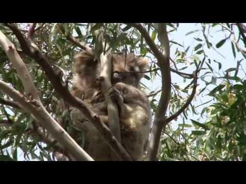Koalas in Australia - You Yangs near Melbourne