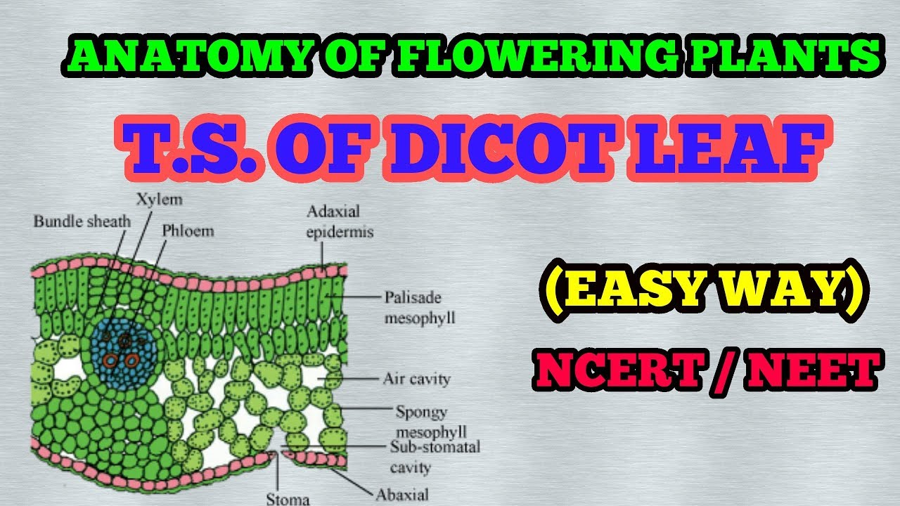 T.S. OF DICOT LEAF (PLANT ANATOMY) / EASY WAY - YouTube