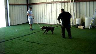 Frisco Chops 6 Month Old American Bully Working Dog Training At Calik9