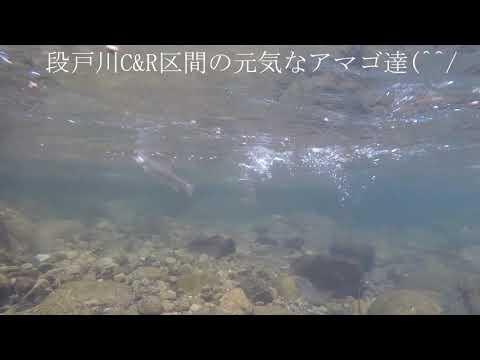 実験中アマゴの水中写真