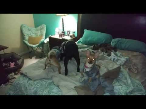 3-Way Dog Tug of War (hilarious)