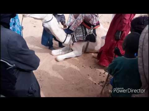 The Tuaregs: When I was learning Camel Ride