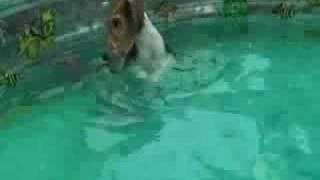ワイアー フォックステリア 5カ月メス。 初めての夏をプール遊びで満喫...