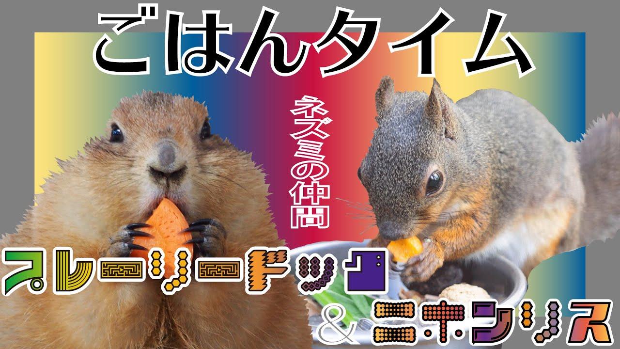 【360°VR映像】ネズミの仲間たち:プレーリードッグ&ニホンリス【千葉市動物公園】
