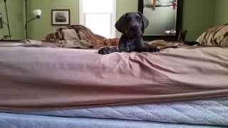 Auto The Great Dane is too scared to hop off the bed.