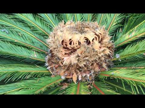 POISONOUS FLOWER / Sago Palm