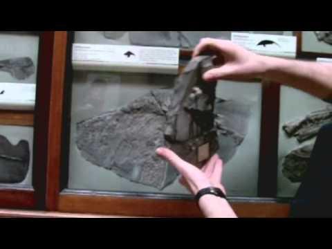 The Dinosaur Gallery Star Objects: The Ichthyosaur