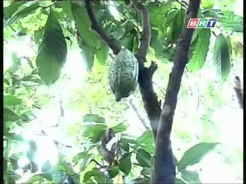 Phòng chống sâu bệnh khi trồng ca cao xen điều