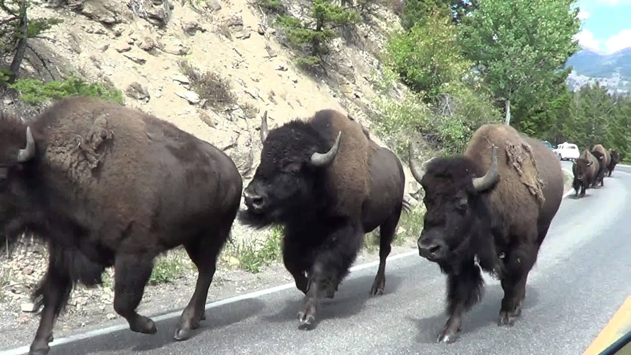 Bison Stampede Yellowstone National Park August 27