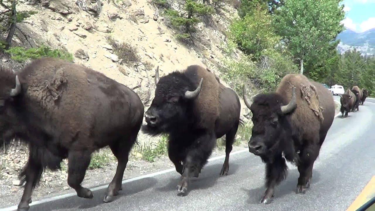 bison - photo #4