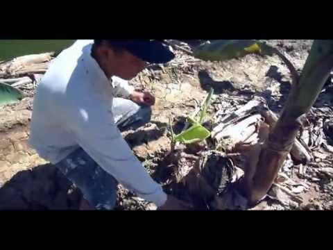 Learn About Organic Banana and Papaya Farming in Chaing Mai, Thailand
