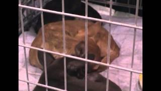 2012 Бэстики-шоу выставка-продажа щенят