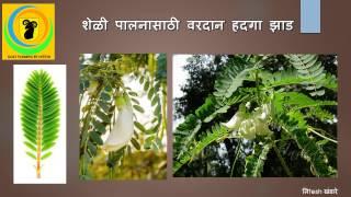 शेळी पालनासाठी उपयुक्त असे हादगा झाड.. Sesbania Grandiflora Tree Very Usefull In Goat Farming...