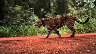 Jaguar, Its Last Frontier - Documentary