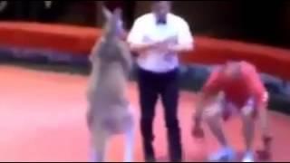 Funny: Kangaroo vs Man Boxing
